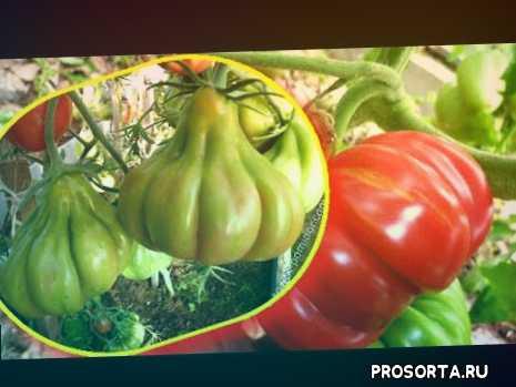 экзотичные сорта, сладкие помидоры, грушеобразная форма, ребристые томаты, урожайные сорта томатов, удобрения, томаты в теплице