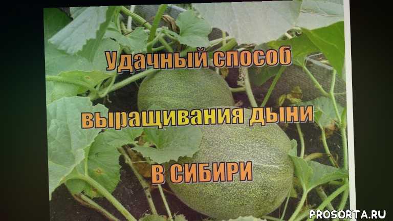 дыни в теплице, как вырастить арбуз, во саду ли в огороде, дыни в сибири, сибирь, сорта, высокая грядка, компостная грядка