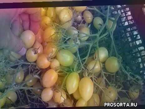 длительного плодоношения, черри, сумашедшие вишни, вкусный, описание сорта, сорта характеристика, помидоры, теплица поликарбонат