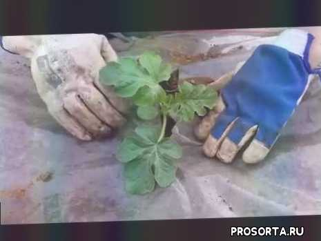 кримсон свит.ранняя бахча