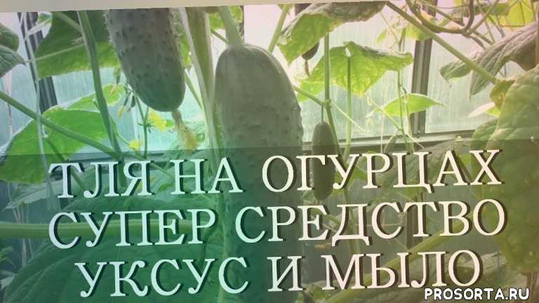 идеи, дача, урожай, супер средство, тля способ, огурец тля, domavedus, домаведус
