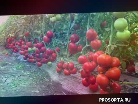 помидор в ростове, ростовский томат, агилес, агилис, томат матиас, сингента, розовый томат, красный томат