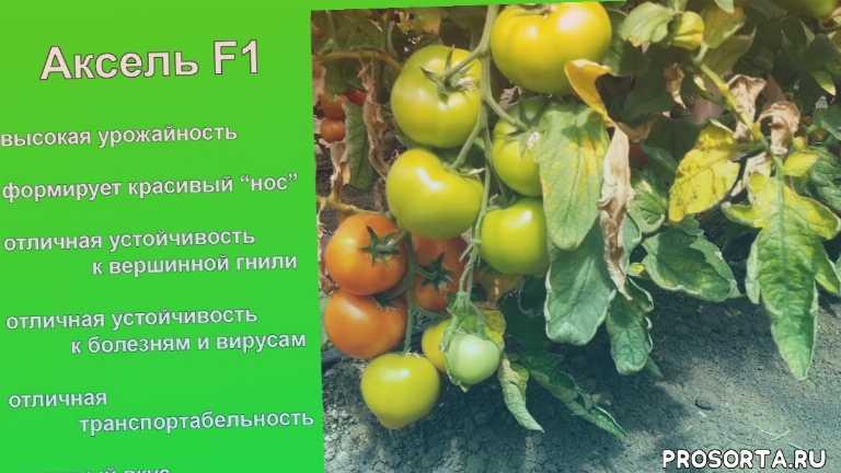 купить семена акселя, купить томат аксель, семена акселя, аксель, global seeds, глобал сидс, семена огурцов, семена томатов