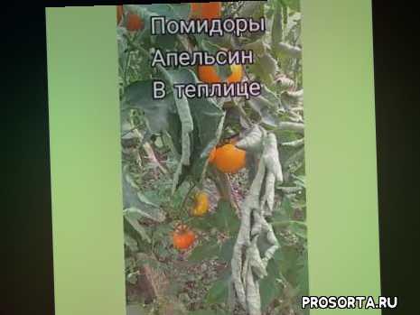 Томат Апельсин в теплице