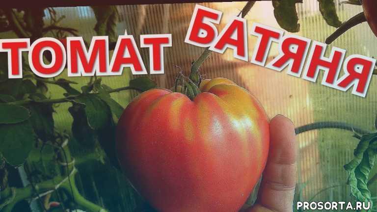 томат батяня, лучшие сорта томатов, томаты в августе, крупноплодные томаты, томаты2020, томаты в июле, обзор томатов, гибриды томатов