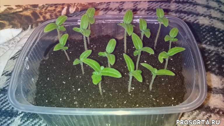 выращиваем томаты на лоджии, как я посадил томаты бонсай, как я посадил томаты в горшок, как вырастить томаты в горшке, томаты черри в горшке, томаты в горшочках, как выростить томаты в цветочном горшке, как выростить томат на подоконнике