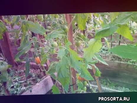 томат буян желтый, сорта томатов, томаты в якутии