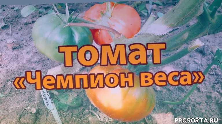 сорт томата, сорта томатов, купить семена томатов, лучшие сорта томатов для открытого грунта, лучшие сорта томатов, урожайные томаты, лучшие сорта, обзор сортов
