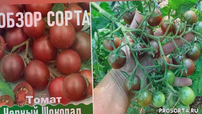 помидоры черри, любимая усадьба, ранние томаты, для юга, обзор, лучшие сорта, выращивание, жаростойкие томаты