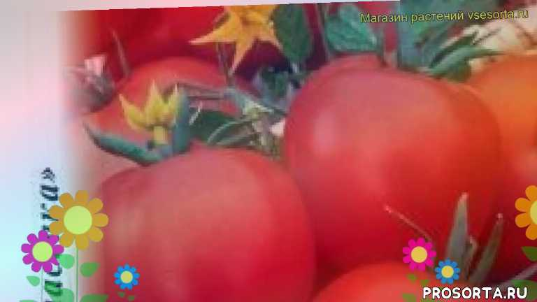 томат дар заволжья какие растения сажают рядом, томат дар заволжья посадка и уход, томат дар заволжья уход, томат дар заволжья посадка, томат дар заволжья отзывы, где купить семена томат дар заволжья, купить семена томата дар заволжья, семена томат дар заволжья