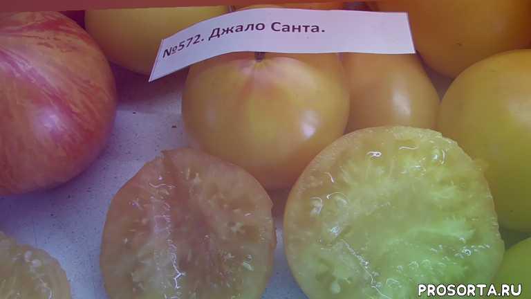 джало санта, томат, самый сладкий, урожайный томат, ранние томаты, мясистый томат, сладкие томаты, самый вкусный