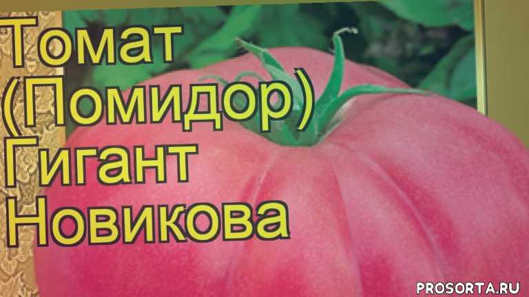 томат гигант новикова посадка и уход, томат гигант новикова уход, томат гигант новикова посадка, томат гигант новикова отзывы, где купить семена томат гигант новикова, купить семена томата гигант новикова, семена томат гигант новикова, видео томат гигант новикова