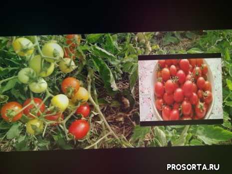 томат иришка характеристика, томат иришка, томат иришка видео, обзор сорта, вкусный томат, лучшие томаты 2020, томат веселый сосед, выращивание томатов