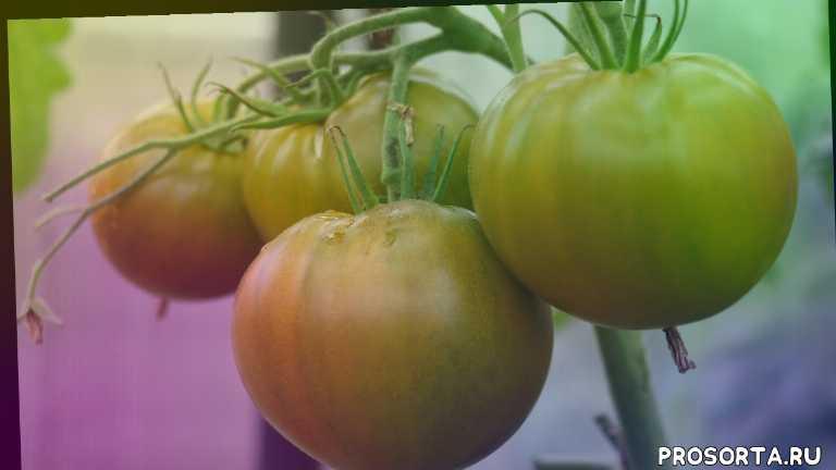 ирландский ликер, лучшие томаты для теплицы, ирландский ликер характеристика и описание сорта, вкусные помидоры, зеленоплодные томаты, зеленые помидоры