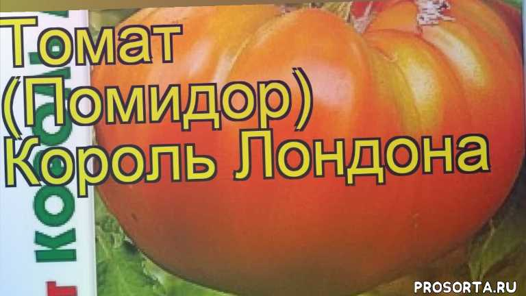 томат король лондона посадка и уход, томат король лондона уход, томат король лондона посадка, томат король лондона отзывы, где купить семена томат король лондона, купить семена томата король лондона, семена томат король лондона, видео томат король лондона