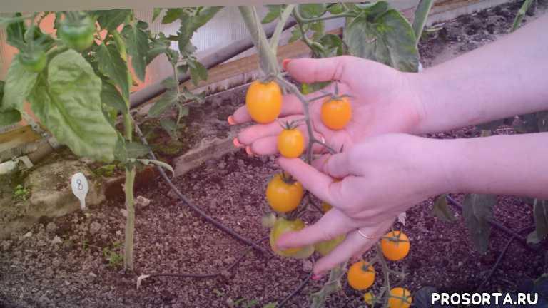 самые урожайные помидоры, самые сладкие томаты, томат летнее солнце описание, (summer sun)