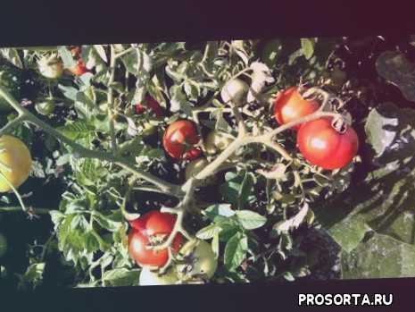 томат лирика характеристика, низкорослые томаты для открытого грунта, томаты для открытого грунта, томат лирика f1, томат лирика описание, описание томата лирика, #дачный сезон круглый год, дачный сезон круглый год
