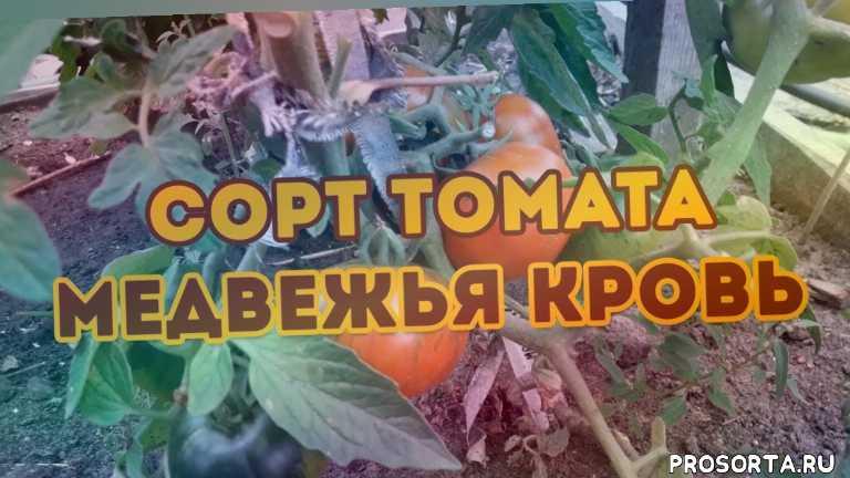 семена томатов 2020, лучшие сорта томатов, семена томатов, томат медвежья кровь, урожайные сорта томатов, протажа сямян томатов 2020, лучшие сорта томатов для открытого грунта, обзор томатов