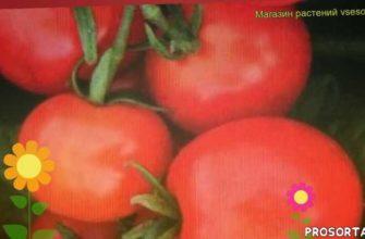 томат обыкновенный черринано уход, томат обыкновенный черринано посадка, томат обыкновенный черринано отзывы, где купить семена томат обыкновенный черринано, купить семена томата черринано, семена томат обыкновенный черринано, видео томат обыкновенный черринано, томат обыкновенный черринано описание характеристик