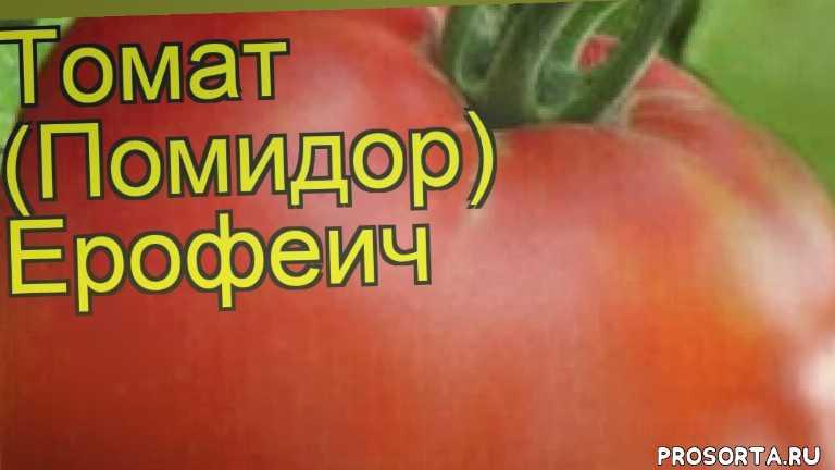 томат обыкновенный ерофеич посадка и уход, томат обыкновенный ерофеич уход, томат обыкновенный ерофеич посадка, томат обыкновенный ерофеич отзывы, где купить семена томат обыкновенный ерофеич, купить семена томата ерофеич, семена томат обыкновенный ерофеич, видео томат обыкновенный ерофеич