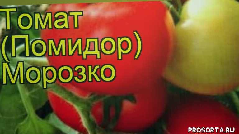 томат обыкновенный морозко посадка и уход, томат обыкновенный морозко уход, томат обыкновенный морозко посадка, томат обыкновенный морозко отзывы, где купить семена томат обыкновенный морозко, купить семена томата морозко, семена томат обыкновенный морозко, видео томат обыкновенный морозко