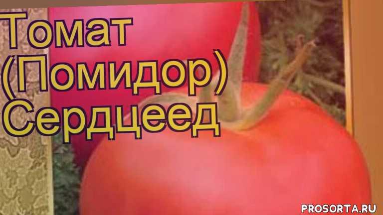 томат обыкновенный сердцеед посадка, томат обыкновенный сердцеед отзывы, где купить семена томата обыкновенного сердцеед, купить семена томата обыкновенного сердцеед, семена томата обыкновенного сердцеед, видео томат обыкновенный сердцеед, томат обыкновенный сердцеед описание характеристик, краткий обзор томат обыкновенный сердцеед