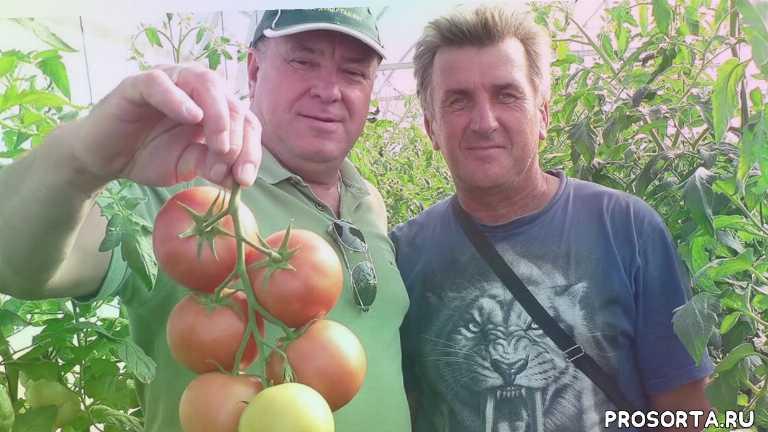 агротехника, агромания, томат пинк мани, пинк мани, семена томата, томаты, quality seeds