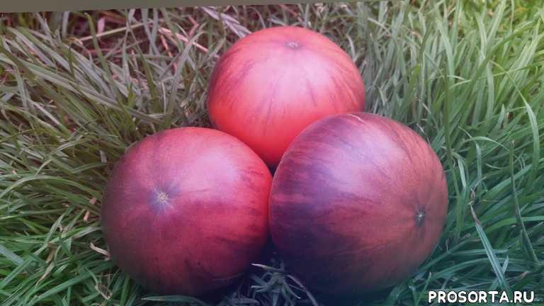 сад удачи, сорт томата, томат розовый сибирский тигр отзывы, розовый сибирский тигр, тигр, сибирский, розовый, томат