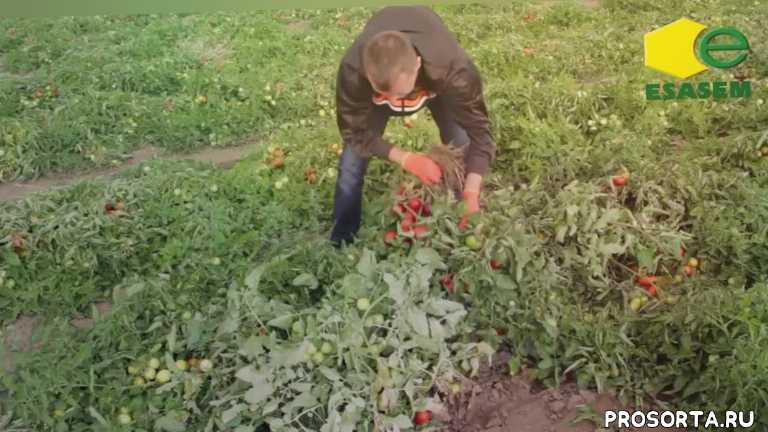 купить семена в украине, семена оптом, выращивание томатов, купить семена, семена помидор, семена томатов, семена
