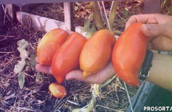 jersey devil, помидор, дьявол джерси, сорт, томат