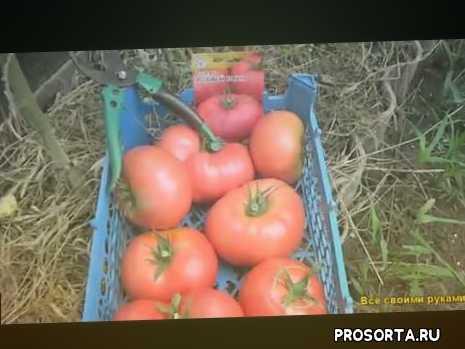 приставучий, надоедливый, помидор, томат, апельсин, доставучий, orange, annoying
