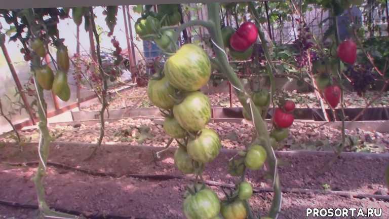 королевский сад, светлый кабан, сорт, томат