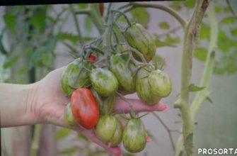 томат суперэкзотик характеристика и описание сорта, томат сорт суперэкзотик, томаты суперэкзотик отзывы, лучшие сорта томатов, суперэкзотик, самый вкусный помидор