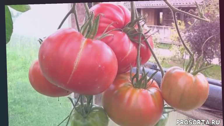 сердцевидный, розовоплодный, розовый, томат, сорт, фото, характеристика, отзывы