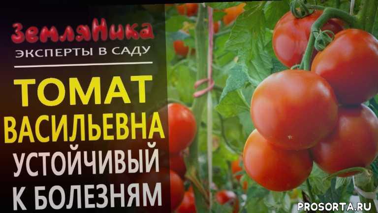 агрофирма, томат васильевна, урожайные сорта томатов, лучшие сорта томатов, самые урожайные томаты, устойчивые сорта томатов, устойчивый к фитофторе, устойчивый к заболеваниям томат