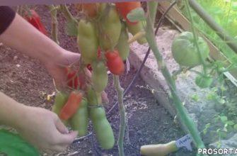 помидоры, условия выращивания томатов, садоводство, теплицы и парники, каппилярный полив томатов, какой томат выбрать для теплиц, выращивание томатов видео, лучшие сорта помидовов