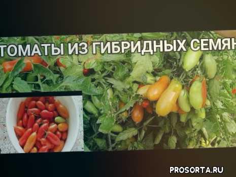 урожайные сорта томатов, коктейльный томат, провожу эксперимент, можно ли выращивать, томат брисколино, томаты из своих гибридных семян, томат брисколино f1, вкусный томат