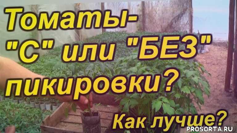 выращивание, помидоры, томаты, высадка, посадка, пикировка