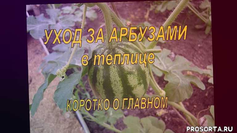 знал, как вырастить арбуз, советы огородникам, удобрение для арбузов, подкормка арбузов борной кислотой, чем подкормить арбузы, сад и огород, урожайный огород