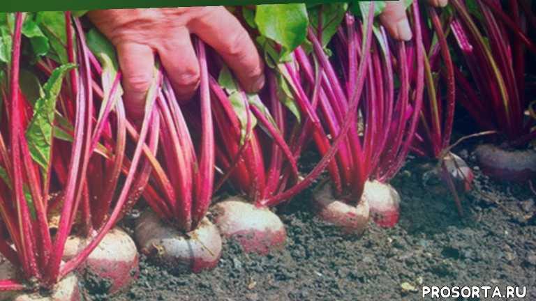 выращивание свеклы в домашних условиях, садовые работы, огород, сад, зеленая планета, выращивание свеклы, свекла