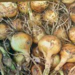УБОРКА ЛУКА. Когда убирать ЛУК? Как определить готовность урожая. Хранение лука