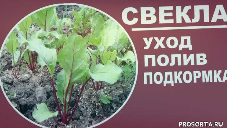 любимая усадьба, выращивание и уход, дачные советы, как улучшить вкус свеклы, сладкие сорта свеклы, натуральное земледелие, органическое земледелие, огород