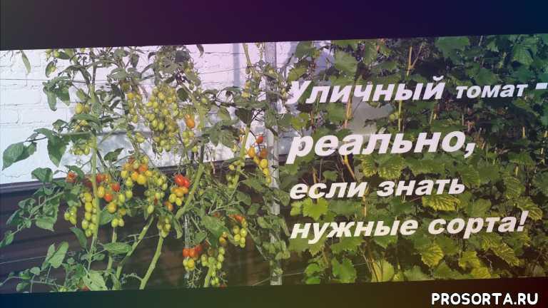 лучшие сорта для открытого грунта, сорт томата, томат для открытого грунта, что посадить в подмосковье, томат для улицы, какой томат посадить в открытый грунт, вкусный томат, лучший томат