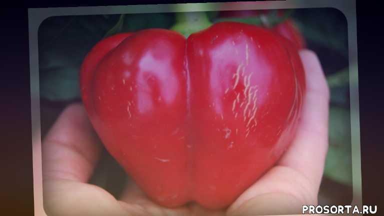 дачникам, огородникам, семена перца, рассада, овощи, сорта перца, сладкий перец, перец бычье сердце
