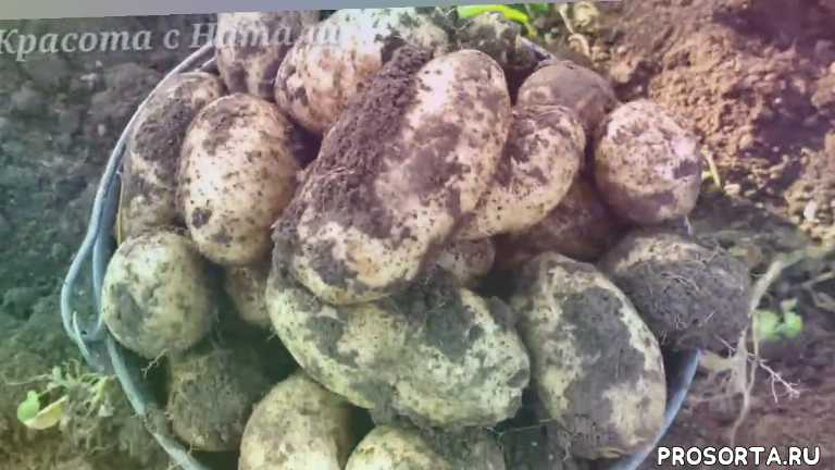 отличный сорт картофеля, какие сорта картофеля посадить, копаем картофель, сад и огород, во саду ли в огороде, урожайный огород, сорт картофеля латона, латона