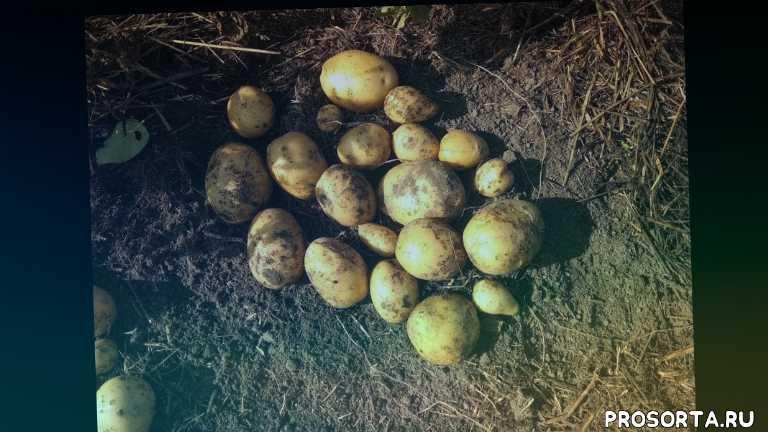 сбор картофеля, картофель, садоводство, грядка, урожай