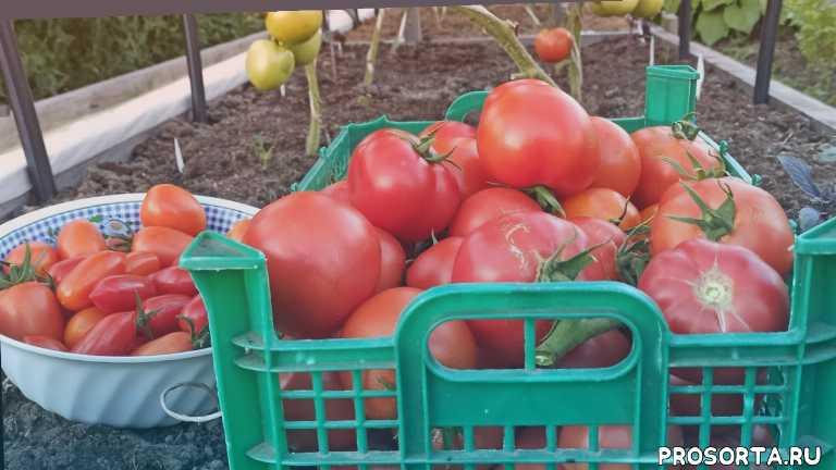 Урожай томатов в открытом грунте сезона 2020 года в Ленинградской области. Обзор сортов. 16+