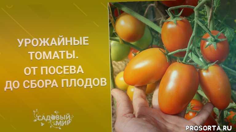садовый мир, наталья петренко, как проветривать теплицу, когда сажать томаты, чем подкармливать томаты, как выращивать томаты, урожайные томаты