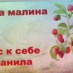 Урожайный сорт малины Маросейка,провереннный!Сажать рекомендую!