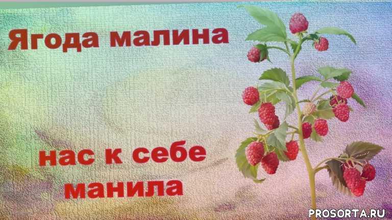 малина в татарстане, татарстан, рекомендую посадить малину маросейку, гарантированный урожай малины, какую малину посадить, лучший сорт малины, ягода малина, ремонтантная малина